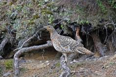 La gestión de hábitat incrementa la supervivencia del urogallo