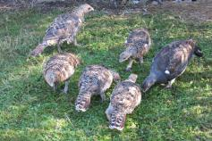 Juveniles de urogallo cantábrico nacidos en el centro de cría de Sobrescobio