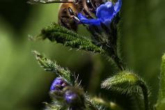 La apicultura, aliada del urogallo