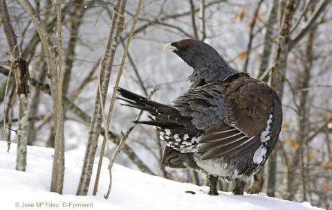 urogallo cantábrico en la nieve